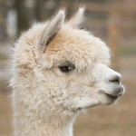 "Why do you think our Alpaca has a ""tude?"""